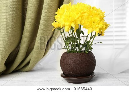 Beautiful chrysanthemum in pot on windowsill