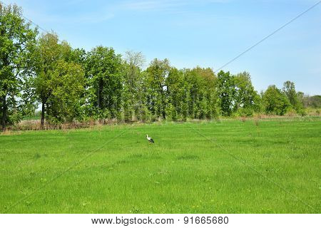 Stork on green field over blue sky background