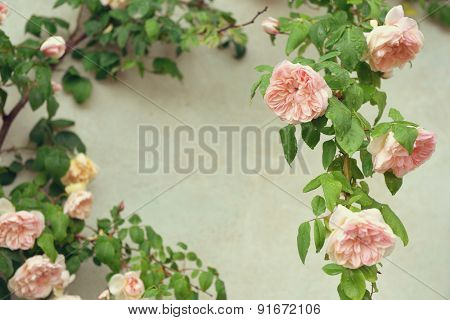 Romantic floral frame background. Pink blooming rose bush. Natural flowers. Image toned.