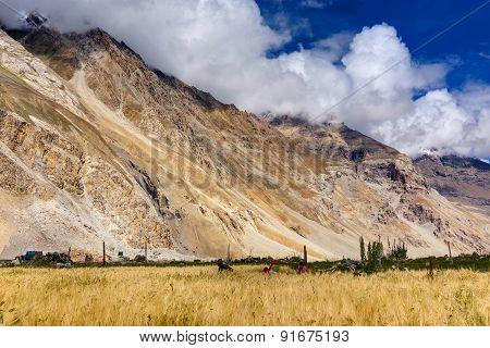 Drass Village Agriculture, Kargil, Ladakh, Jammu And Kashmir, India