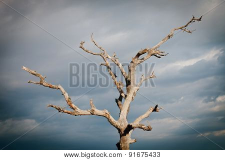 Dry tree with a cloudy sky of background
