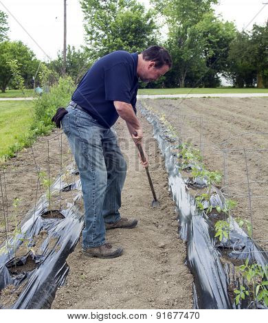 Organic Farmer Weeding Around His Tomato Plants