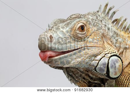 Closeup Green Iguana Showing Tongue On White