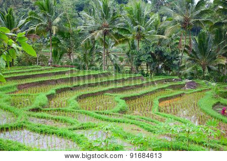 Rice fields, prepared for rice. Bali, Indonesia