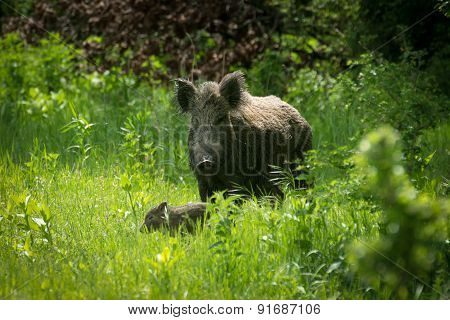 Wild boar in grass