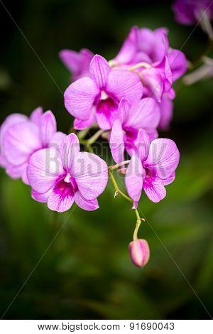 Dendrobium Mozah Bint Nasser Al-missned Pink Orchid Flower