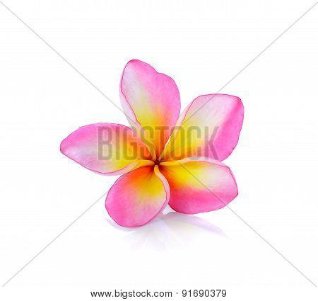 Frangipani Or Plumeria Isolated On The White Background