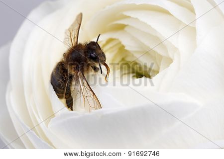 Closeup White Ranunculus Flower With Bee