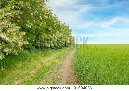 Field,thickets Flowering Acacia And Country Road