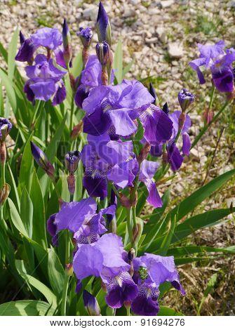 A wild blooming iris