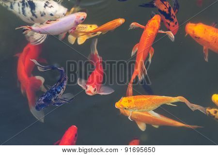 Colorful Ornamental Fish