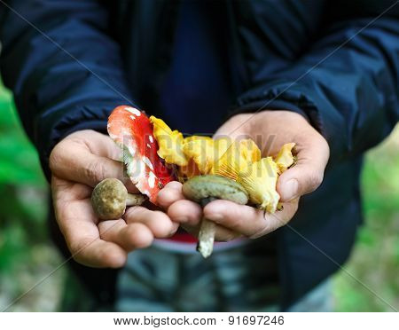 Mushrooms In A Hands Of A Man