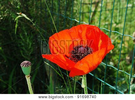 Giant Red Poppy