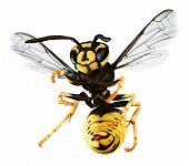 picture of hornet  - hornet isolated on a white back ground - JPG