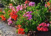 stock photo of geranium  - Colorful blooming geranium flowers in the garden - JPG