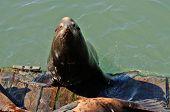 picture of sea lion  - California Sea Lion Zalophus californianus on the water front in Newoprt Oregon  - JPG