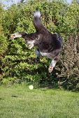 stock photo of border collie  - Rear view of the Border collie that is jumping for the yellow ball outdoors - JPG