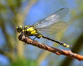 image of dragonflies  - Dragonfly sitting on a twig - JPG