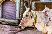 stock photo of holi  - Holi Cow on the Holi festival in India - JPG
