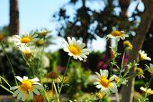 pic of daisy flower  - White daisy flowers - JPG