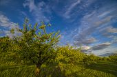picture of apple orchard  - Nice and juicy apple orchard in the evening at sunset - JPG