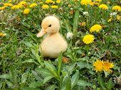 picture of duck  - Cute Little Duck Posing - JPG