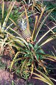picture of sudan  - Pineapple plant  - JPG