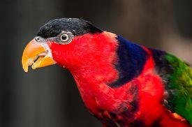 image of lorikeets  - Black-capped Lorikeet Bird with food on it