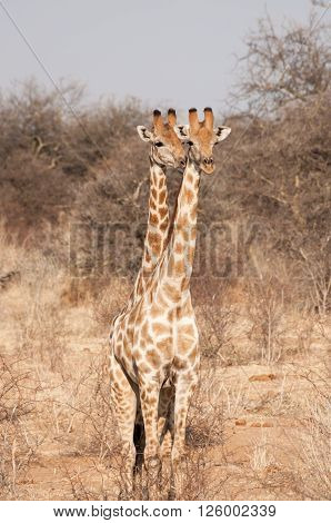 Two Headed Giraffe