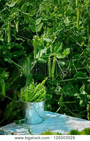 Fresh green peas with leaf and flower in a bucket on nature green background