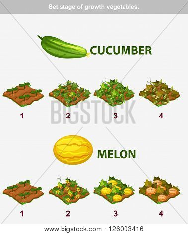 stage of growth vegetables. Cucumber and melon in vector for playing a perspective. game element
