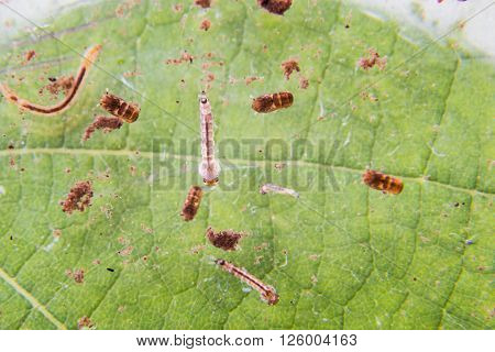 Closeup Of Mosquito Larva Breeding On Potted Plants Stagnant Water