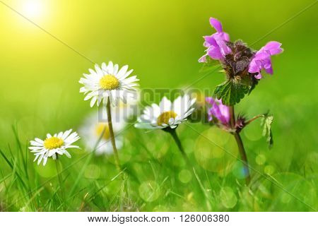 Purple deadnettle with daisies on meadow. Soft focus. Spring season.