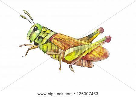Grasshopper hand drawn. Yellow grasshopper in watercolor