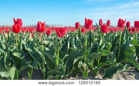 The edge of a large field of bright red flowering tulip bulbs a specialized grower in the Netherlands. It is early in the morning of a sunny day in springtime.
