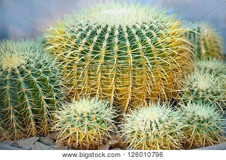 Golden ball cactus. Echinocactus grusonii in garden