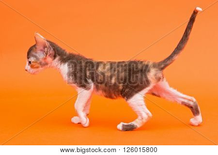 Kitten Cornish Rex side view bright orange background