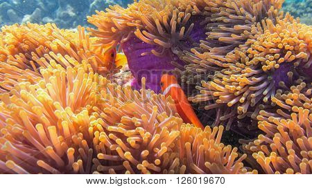 A Clown Anemonefish, or Clownfish, Amphiprion percula, sheltering among the tentacles of its anemone, Marsa Alam, Egypt