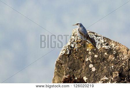Blue rock thrush perching on a stone