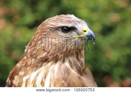 Portrait Of A European Common Buzzard Buteo Buteo
