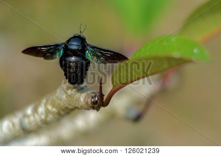 Tropical carpenter bees sitting on the leaf