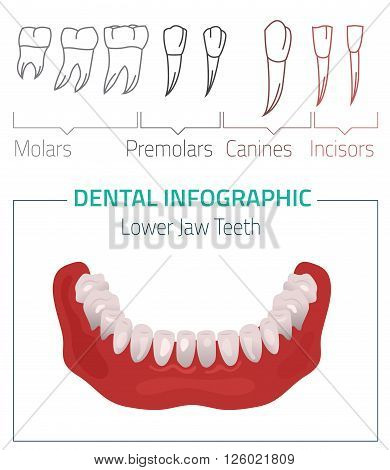 Human teeth dental infographic. Editable vector illustration with Lower jow teeth. Medical image on a white background useful for poster, leaflet or brochure graphic design.