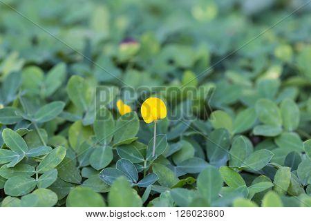 Pinto Peanut Plant, Small Yellow Flower