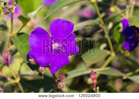 purple princess flower Glory flower Tibouchina Urvilleana. Hawaii Maui