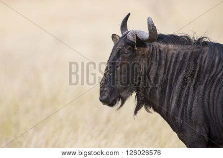 Blue bull wildebeest with horns closeup profile in sunshine looking
