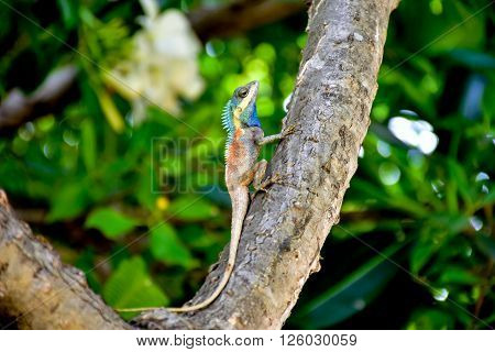 REPTILE blue LIZARD FOREST CRESTED LIZARD on tree