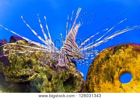 Photo of striped pterois volitans in aquarium