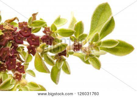 Flora Of Gran Canaria - Aizoon Canariense