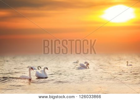 Beautiful white swans swimming in the golden ocean at sunrise sunset. Can be used for bird animal nature landscape sunrise sunset ocean themes