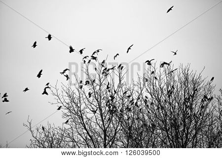Ravens fly and sit over leafless trees